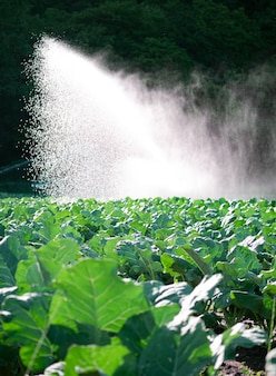 Water sprinkler system in the morning sun on a plantation