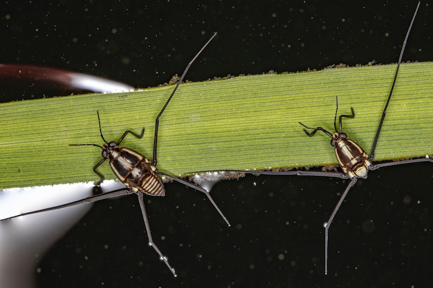 Water strider insect of the subfamily trepobatinae