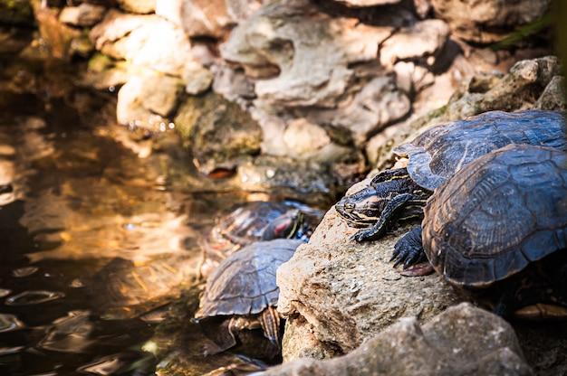 Водные черепахи отдыхают в бассейне