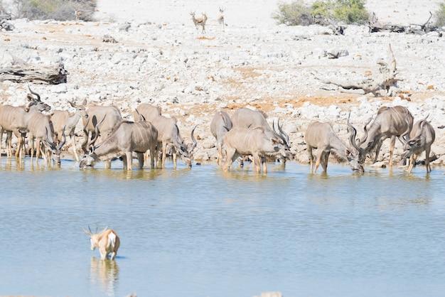 オカウケジョ滝waterから飲むクドゥの群れ。エトーシャ国立公園の野生動物サファリ。