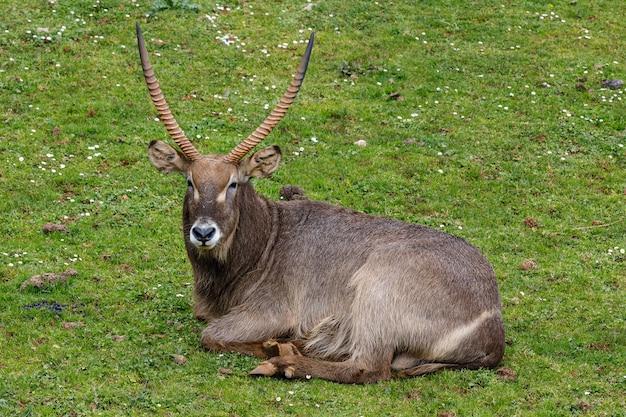 Waterbuck large antelope lying on a grass