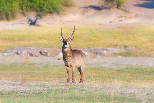 Мужской waterbuck в кусте смотря камеру. сафари в национальном парке чобе, величественные путешествия в ботсване, африка.