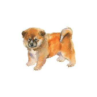 水彩秋田子犬。手描きのリアルな犬のポートレート。白の絵画ペットイラスト
