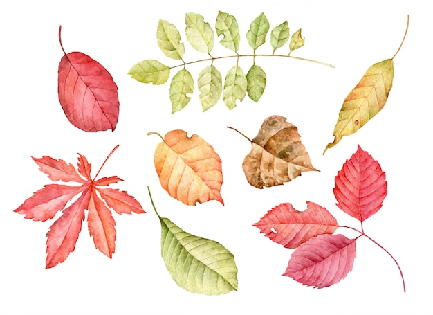 Watercolor autumn leaves isolated on a white background.
