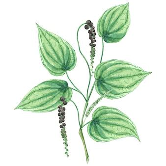 Watercolor black pepper plant