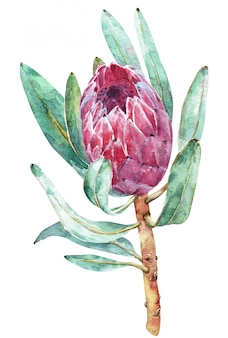Watercolor botanical illustration of protea flower.