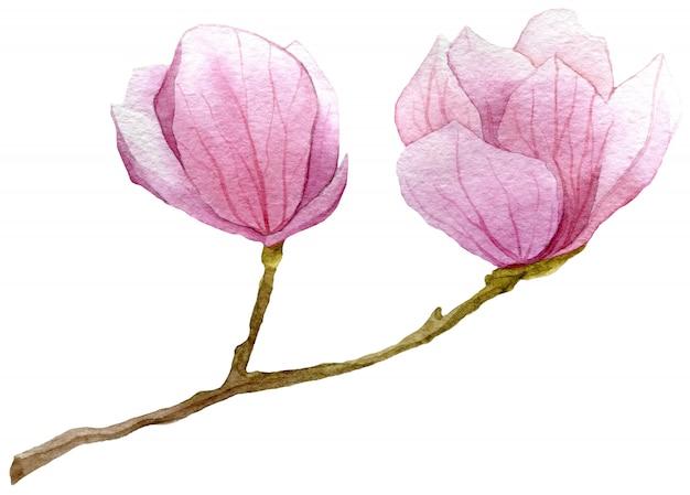 Watercolor branch of magnolia