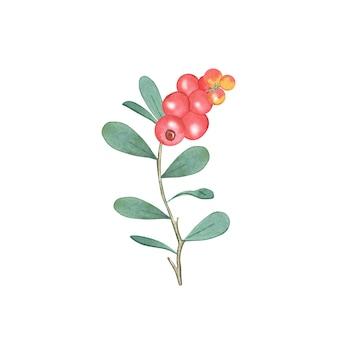 クランベリーの水彩画の枝。