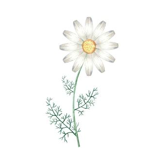 수채화 카모마일 꽃