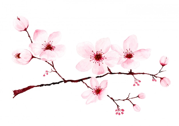 Watercolor cherry blossom branches hand painted.