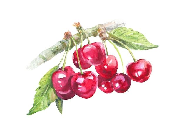 Акварель вишневая ветвь на белой поверхности. рисованной иллюстрации