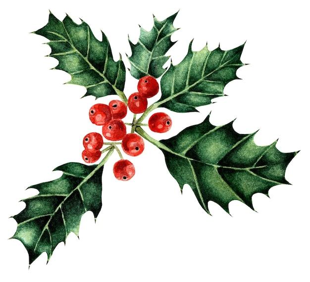 赤い果実と水彩のクリスマスのヒイラギ冬の伝統的な花は白い背景で隔離