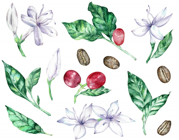 Watercolor clipart of white coffee flowers, green leaves, red berries and beans.
