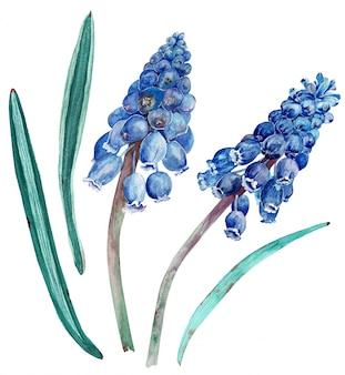 Watercolor cobalt blue muscari with green leaves