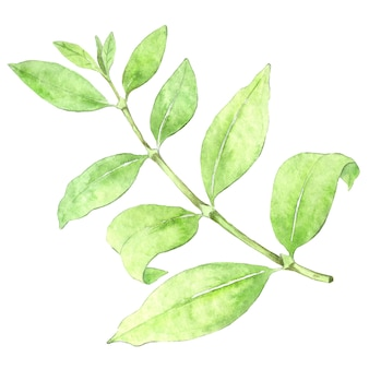 Watercolor coffee plant