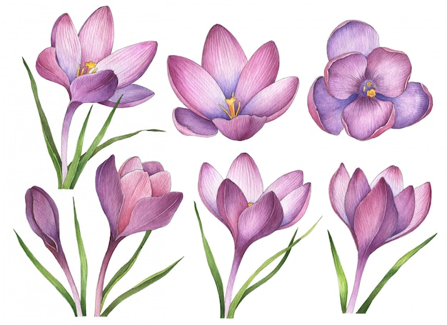 Watercolor crocuses isolated on white