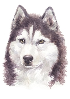 Watercolor dog painting, brown-white colour siberian husky