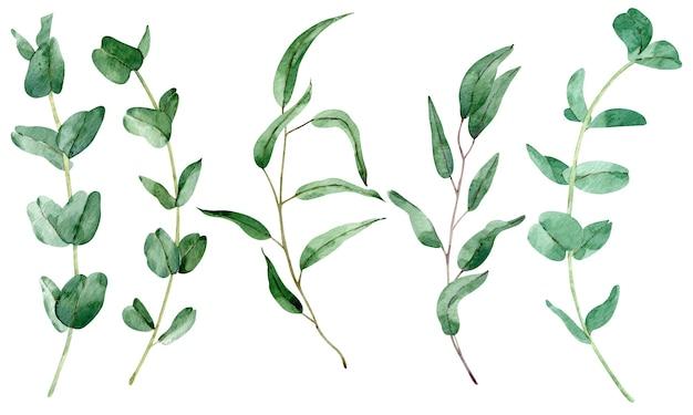 ユーカリの枝がセットされた水彩画の緑。白い背景で隔離の自然の葉のイラスト。緑の葉のクリップアート。