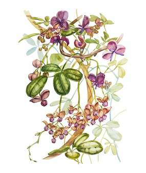 Watercolor hand drawn akebia quinata leaves and purple flowers on a white . botanical illustration.