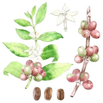 水彩の手描きのコーヒー植物。