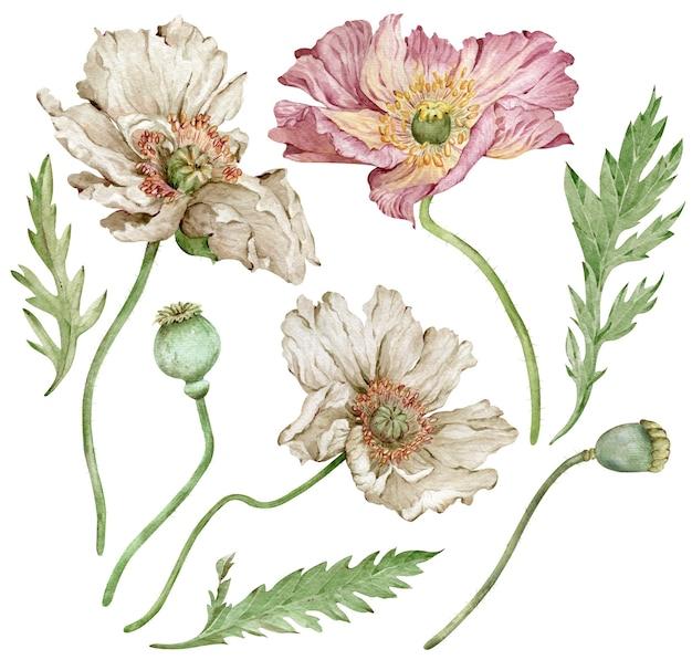 アイスランドのピンクと白のポピーの花と緑の葉の水彩手描きイラスト。白い背景に孤立した美しい花柄。