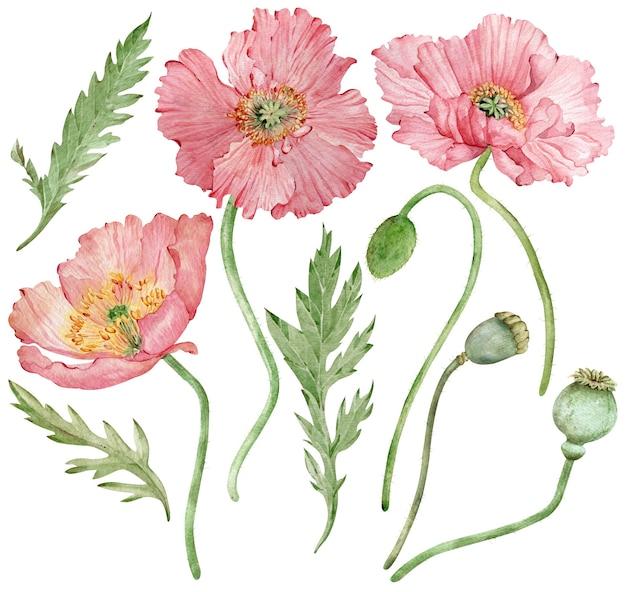 アイスランドのピンクのポピーの花と緑の葉の水彩手描きイラスト。白い背景に孤立した美しい花柄。
