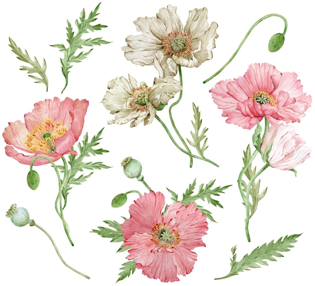 アイスランドのピンクと白のポピーと緑の葉の水彩画手描きセット。美しい花