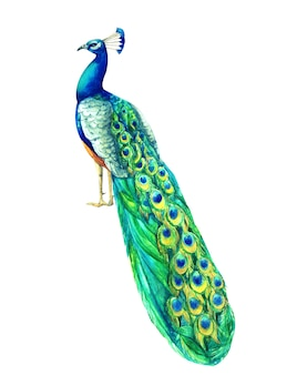 Watercolor hand painted multicolored peacock