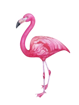 Watercolor hand painted pink flamingo isolated on white