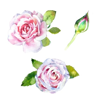 Watercolor hand painted rose illustration set isolated on a white background.