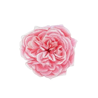 Watercolor illustration blooming pink rose on a white background botanical illustration
