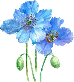 Watercolor illustration of blues poppies isolated on white background.
