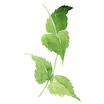 Watercolor illustration of mariannick asherah leaves