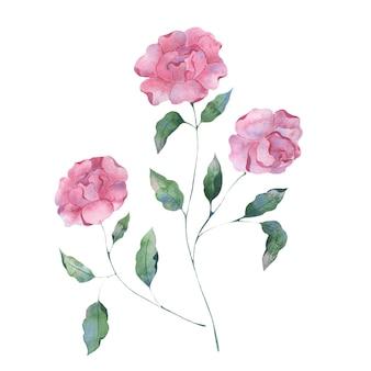 ピンクの背景にライラック牡丹の花の水彩イラスト