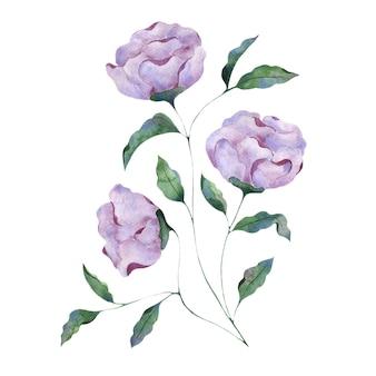 白い背景の上のライラック牡丹の花の水彩イラスト