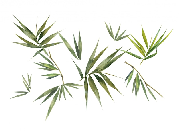 Watercolor illustration painting of bamboo leaves , on white background