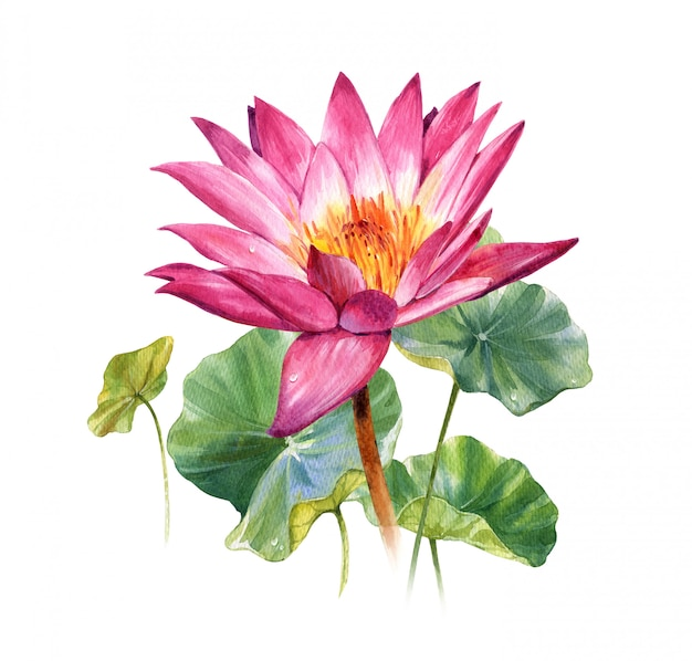 Watercolor illustration painting of leafs and lotus on white