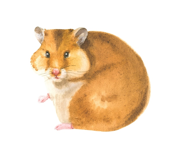 Watercolor illustration of a realistic hamster in white background