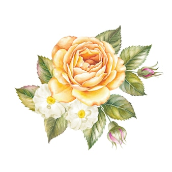 Watercolor illustration of rose flower isolated