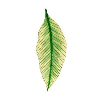 Watercolor illustration of tropical leaf isolated on white background
