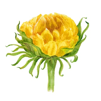 Watercolor illustration with bright sunflowers, leaves and buds of the plant