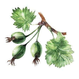 グーズベリーと葉の水彩イラスト