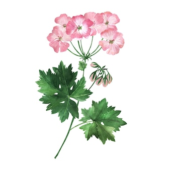Watercolor illustration with inflorescences, flowers, buds and leaves of the geranium plant