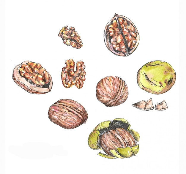 Watercolor and ink illustrations of different nuts. hand drawn different walnuts isolated on the white background