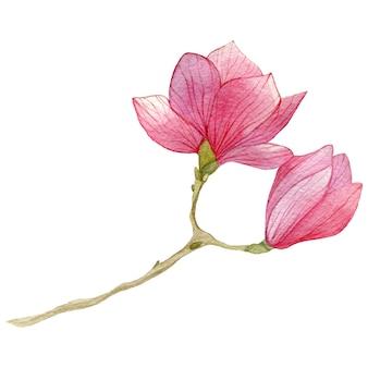 Watercolor magnolia flower.