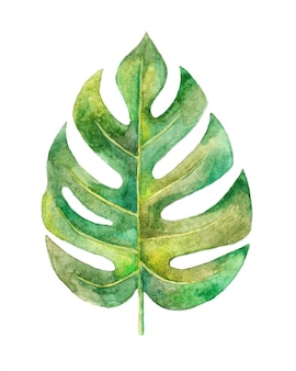 Watercolor monstera leaf illustration hand painted