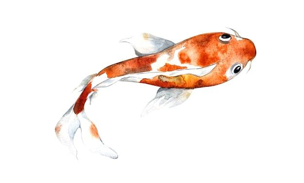 水彩オレンジ鯉、孤立した表面の美しい魚、水彩イラスト、手描き