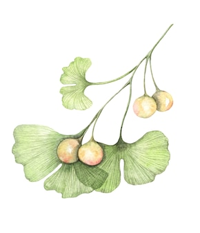 Watercolor painted illustration of ginkgo biloba branch with seeds transparent leaves isolated