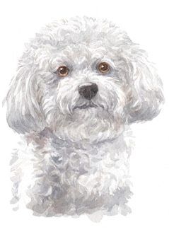 Watercolor painting of bichon frise