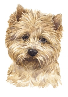 Watercolor painting of cairn terrier